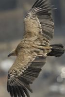 vautour4.jpg