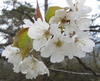 fleurs_cerisier30_04_06_500.jpg