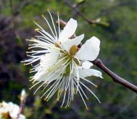 fleurs_cerisier22_05_06_012_700.jpg