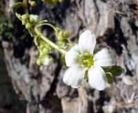 fleurs_saxifrage06_06_06_029_600.jpg