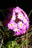 fleurs_grassettes06_06_06_032_600.jpg